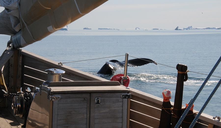 baleine à l'étrave de la Louise