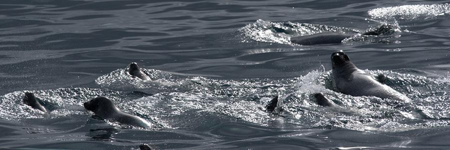 phoques dans les vagues