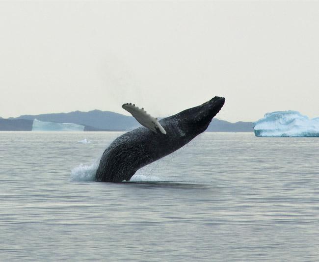 Programme été Groenland - Baleine