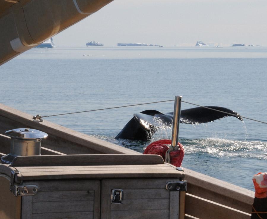 baleine à l'étrave du La louise