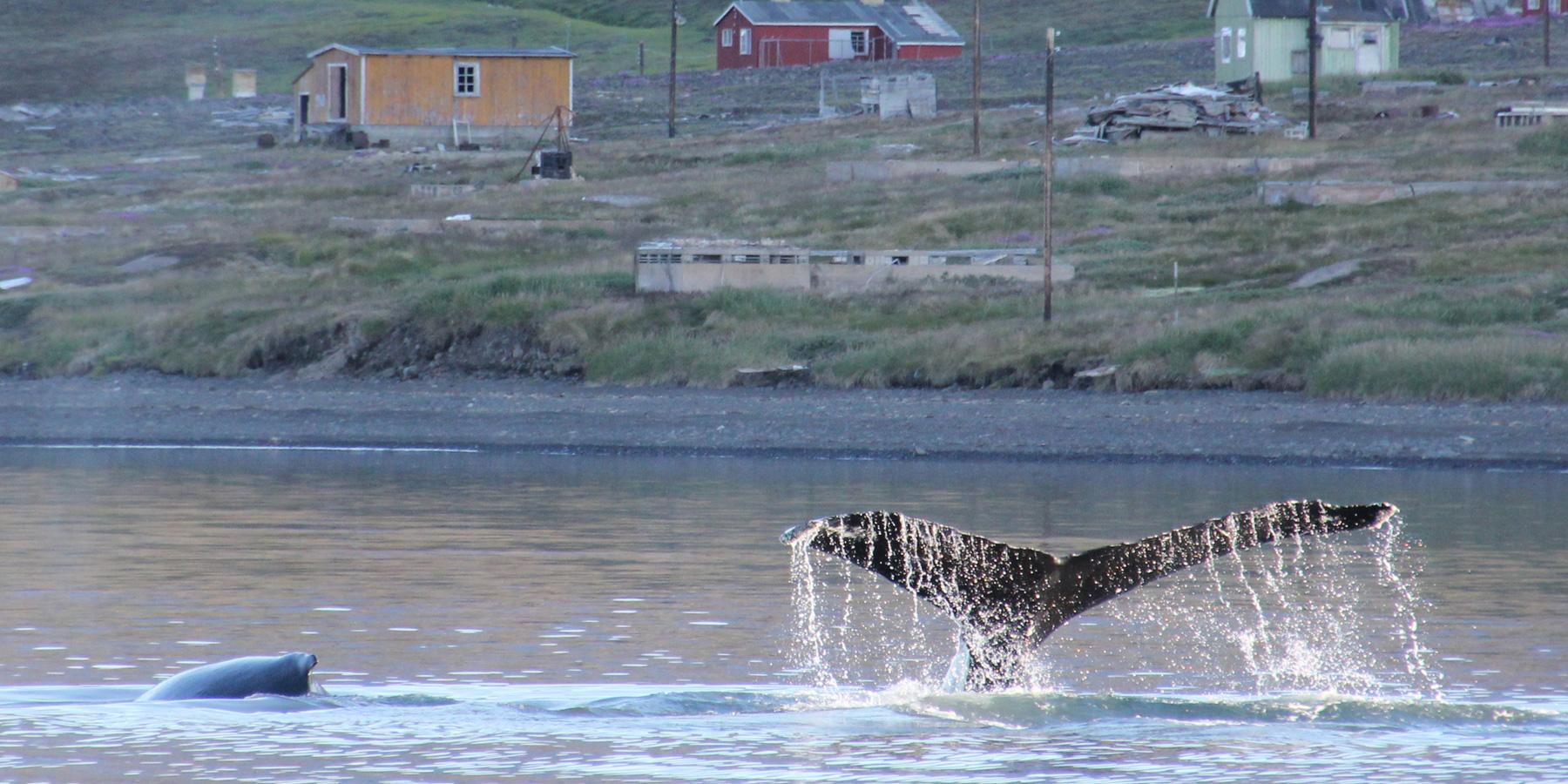 baleineGroenland