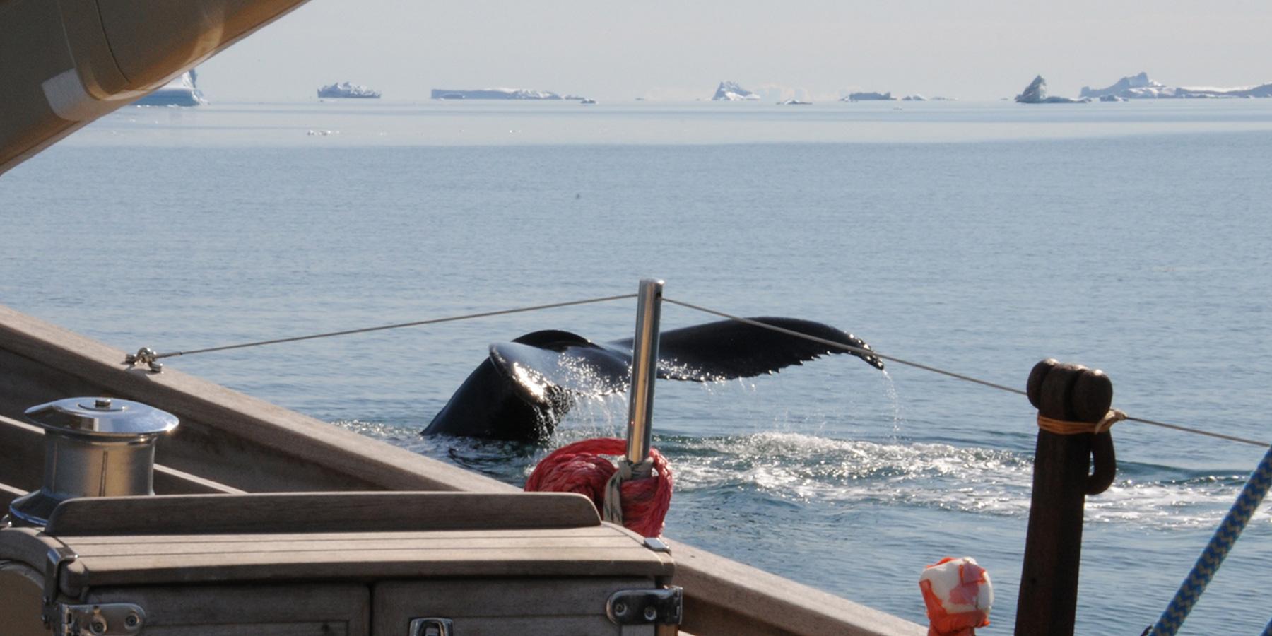 baleine étrave