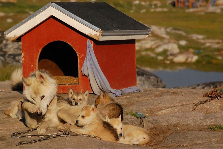 Chiens Groenland