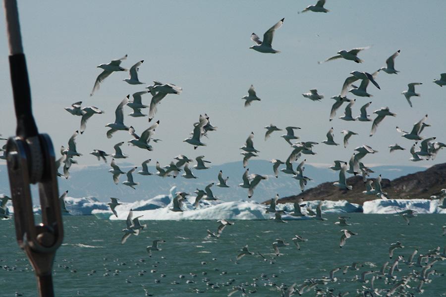 oiseaux arctique