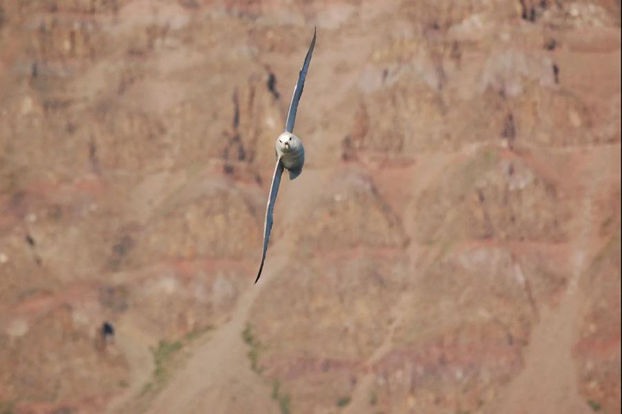Oiseau pris en vol dans la baie de Disko