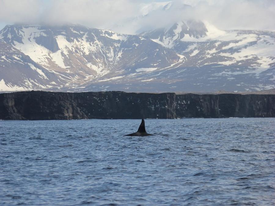 Orque Islande