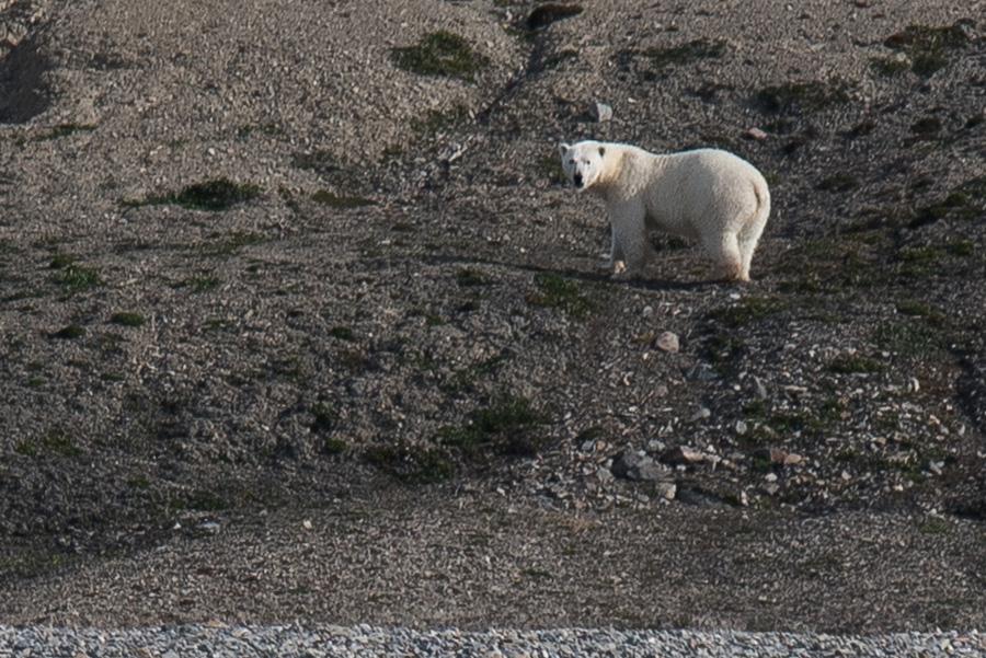 Ours Polaire Terre de Baffin