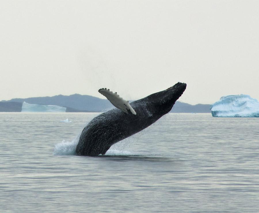 baleine Groenland